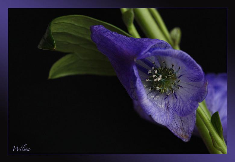 Monnikskap - Wie gaat mij vertellen wat dit voor een bloem is.... Bedankt Desiree,<br /> en veel andere zeiden het gisteren ook al <br /> <br /> Ie