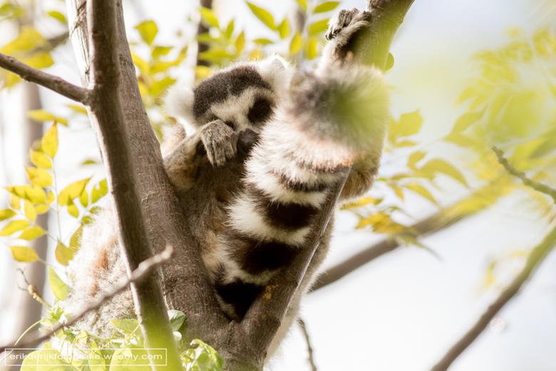 Ringstaartmaki - Ringstaartmaki gaat voor een dutje in nationaal park Anja op Madagaskar.