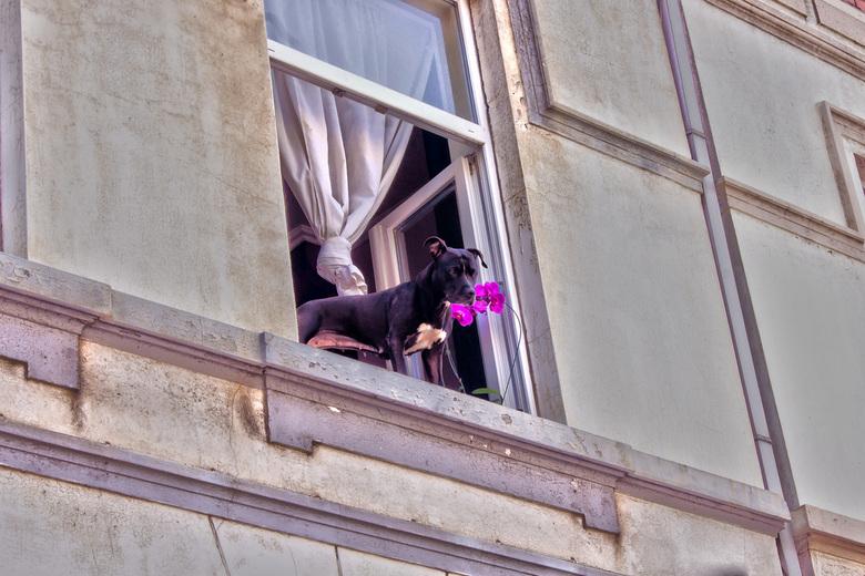 Nieuwsgierig Hondje - Deze hond kwam nieuwsgierig uit het raam kijken.
