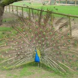 Pauw in park Wezenlanden te Zwolle