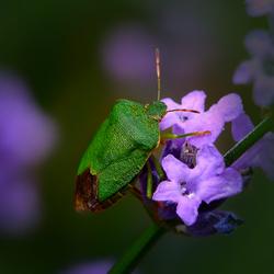 Groen schild