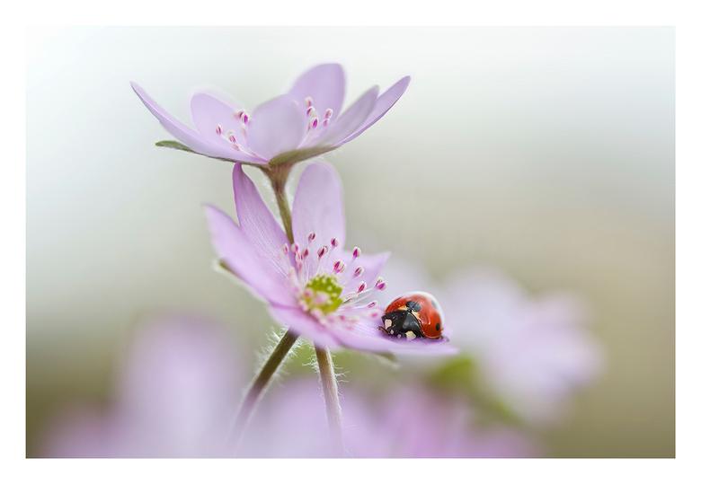 Ladybird - Lieveheersbeestjes komen met grote getale uit de buxus met het zonnige weer.
