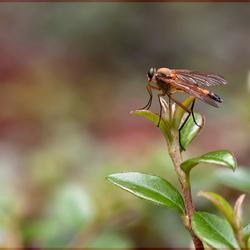 Snipvlieg in positie