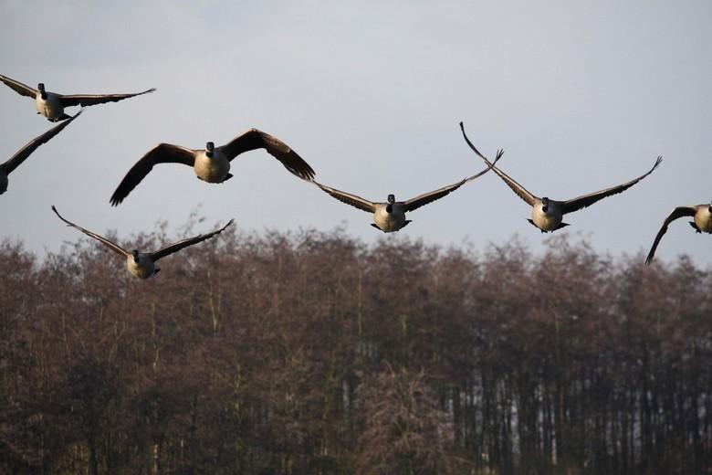 Startende ganzen - De canadese ganzen stegen op vanuit een plas naast het zwarte water. Ze kwamen recht op me af en heb daarom deze prachtige plaat ku