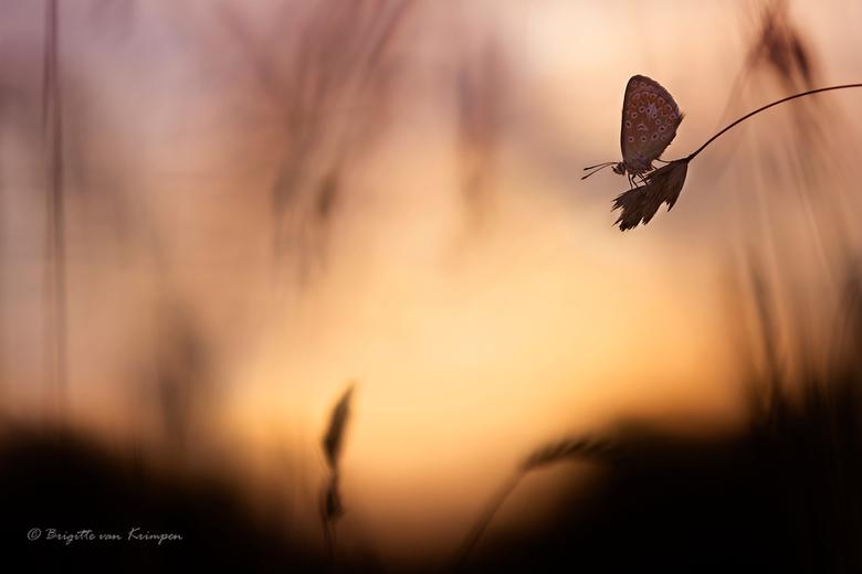 Saturday morning Blues - Icarus blauwtje vroeg in de ochtend bij zonsopkomst