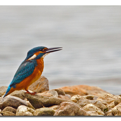 The King Fisher