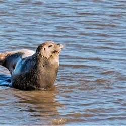 zeehond puntvan reide