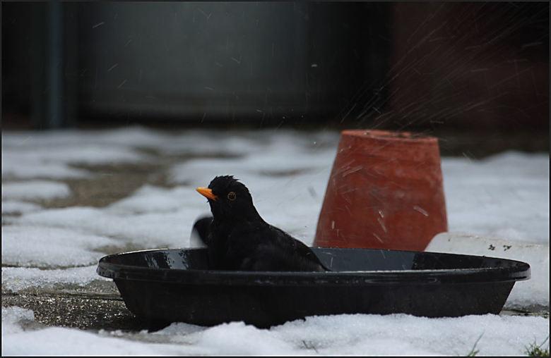 merel is blij dat de vorst over is - . Maandag  ging het dooien en wel flink hard . het bakje water weergevuld voor de vogels . Waar dankbaar gebruik