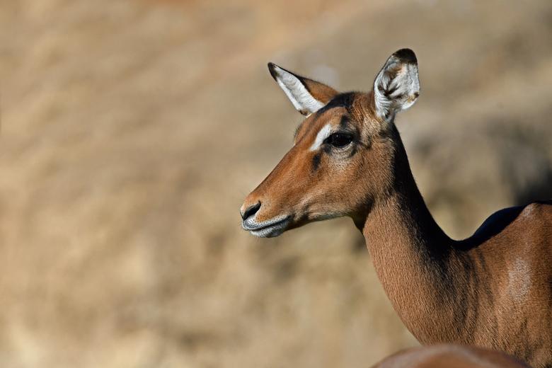 rooibok - De rooibok is beter bekend als impala. Het bok in rooibok heeft niets van doen met het geslacht. De Zuid-Afrikaanse Boeren noemen antilopes