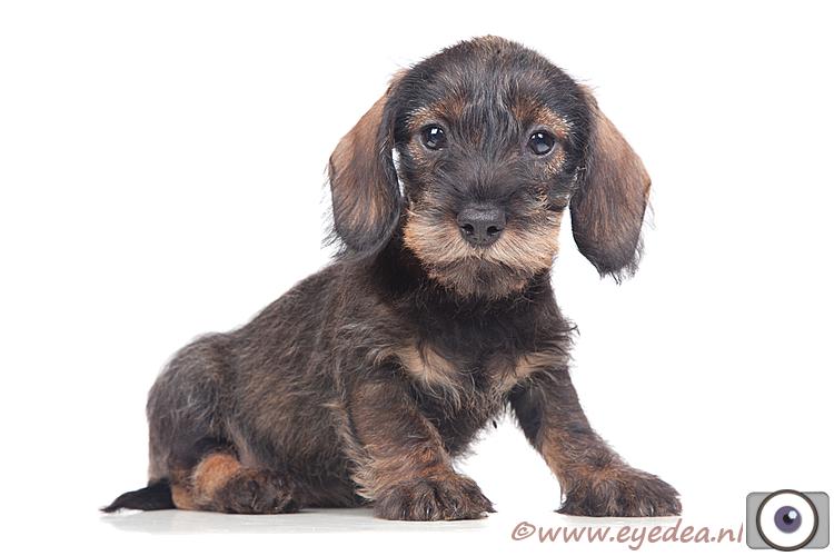 Teckel Hazel  - Dit heerlijke pupje heb ik pas mogen ontmoeten. Ze is van deze kennel: http://www.dogwoodofshadydowns.nl/