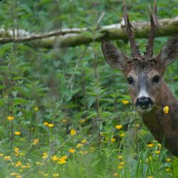 Hert in het bos van Poortugaal