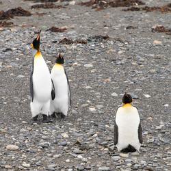 Koningspinguïns Vuurland Patagonie