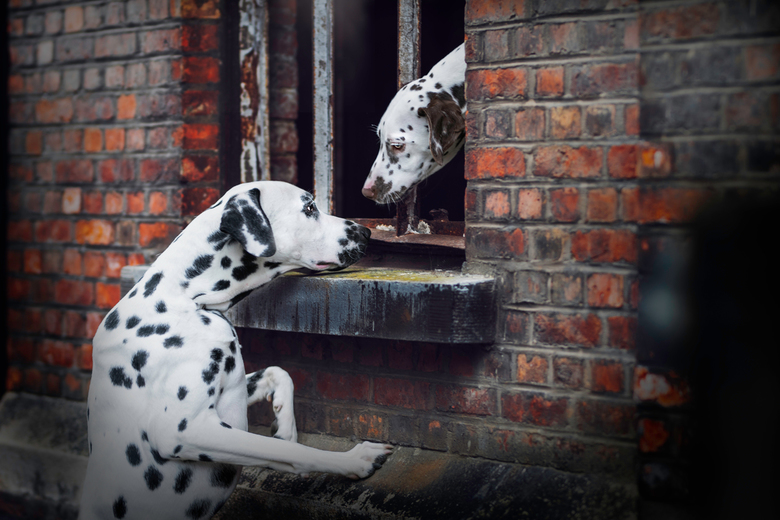 Dalmatiërs - 'Please don't leave'