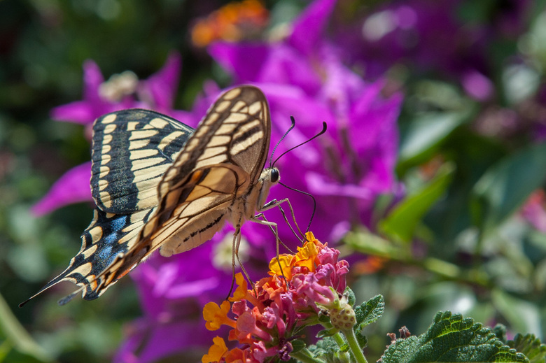 vlinder  - Sicilie-Italie