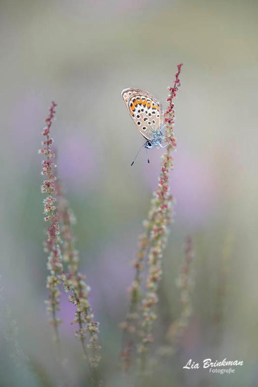 Heideblauwtje - Heideblauwtje op de zuring  tussen de heide struiken.<br /> <br /> Bedankt voor de reacties op mijn vorige foto<br /> <br /> Groet