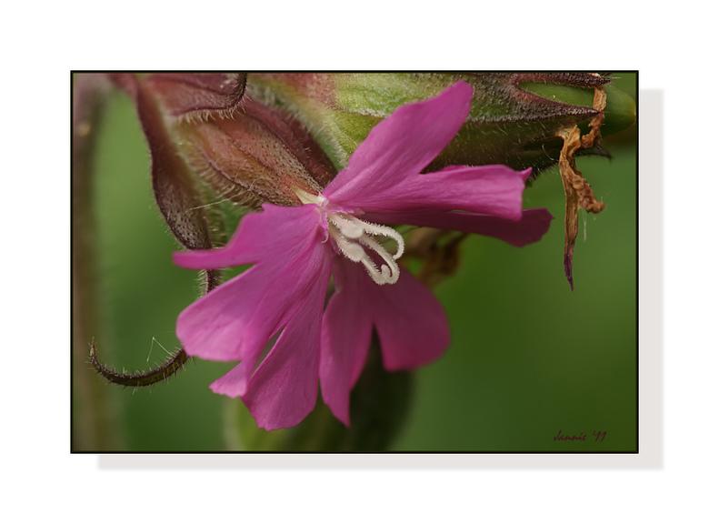 Dagkoekoeksbloem - Ik vind dit altijd een heel mooi en fotogeniek bloempje.<br /> Hier gefocust op de stampertjes.