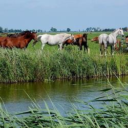 Paarden........