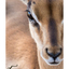 jonge impala