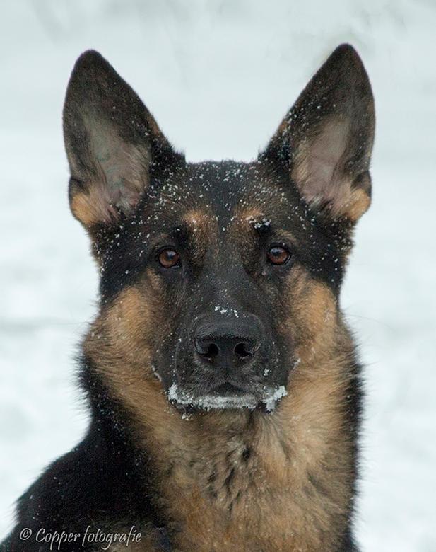 Ximma vom Arolser Holz, 21 januari 2013 ♀ - Nu geen actiefoto maar een kopfoto van mijn Duitse Herdershond na met haar bal in de sneeuw te hebben gesp