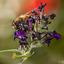 Zweefvlieg/Blinde Bij op bloem vlinderstruik