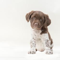 stabij puppy
