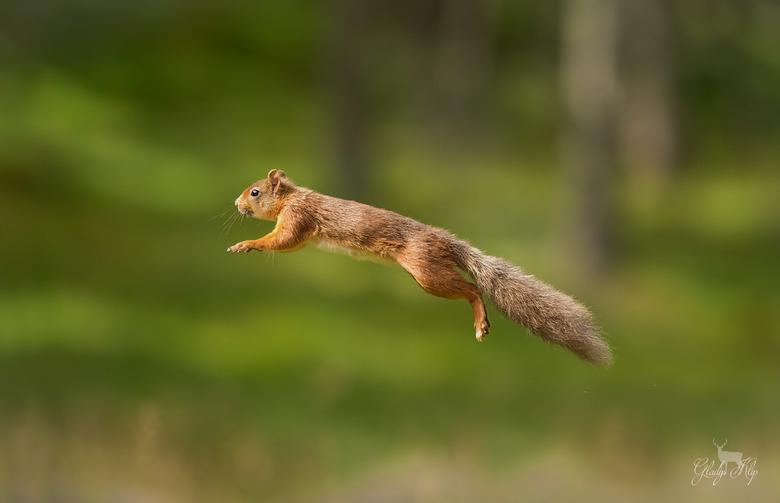 Jumping Jack - 300mm 1/2500 f/4.0 iso 1600<br /> <br /> Een helse opdracht had ik mijzelf gegeven: een springende eekhoorn. Twee dagen en 1000en fot