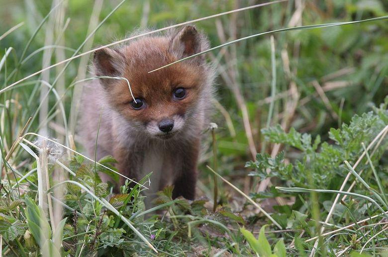 Vosje - Donderdag weer even wezen kijken bij een van de vossenplekken en dit keer eindelijk geluk, er liepen vier kleintjes.