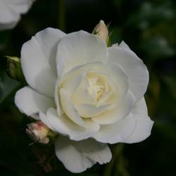 White rose at the Stoepa