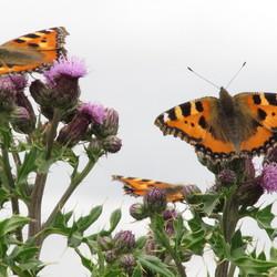 vlinders op distels