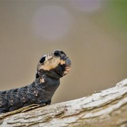 groot avondroodrups Deilephila elpenor