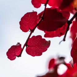 Druivenplant in herfst