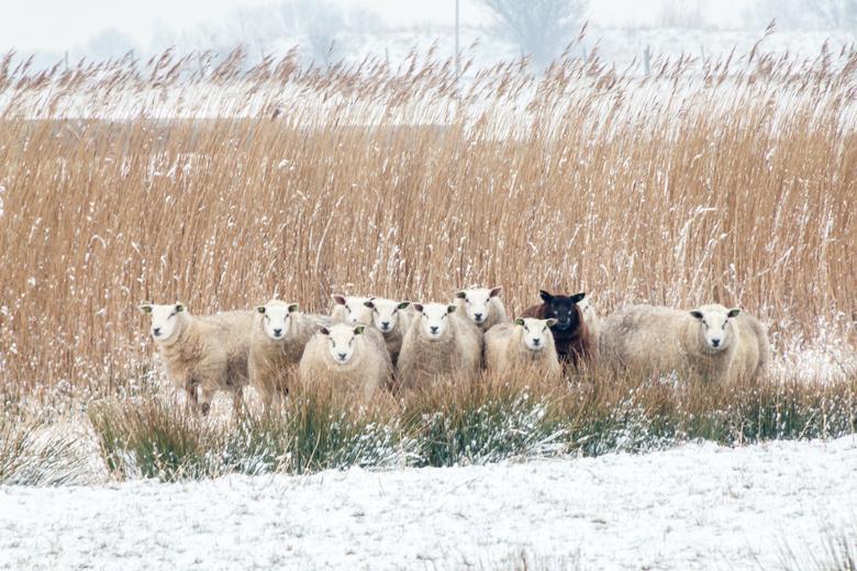 Op de uitkijk - De grazende schapen keken allemaal op na een fluitsignaal. Leuk is ook het ene zwarte schaap.
