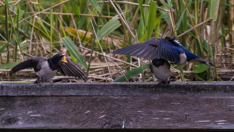 Zwaluw voert jong
