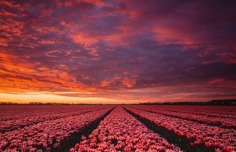 Tulpen met zonsopgang - Een geweldige zonsopgang boven een tulpenveld in de Hoeksche Waard.