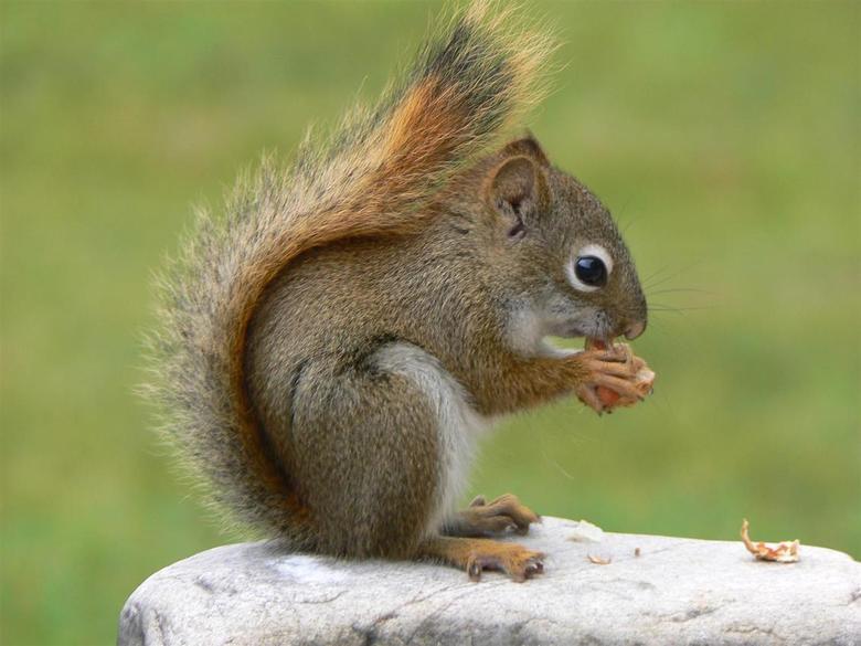 So cute.... - Eekhoorn aan het pinda's eten