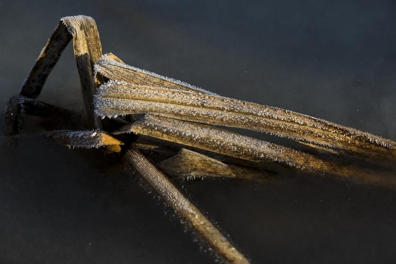 Geknakt, berijpt en ingevroren - In een - nu bevroren - ondiep plasje in een weidegebied staan de resten van waterplanten.
