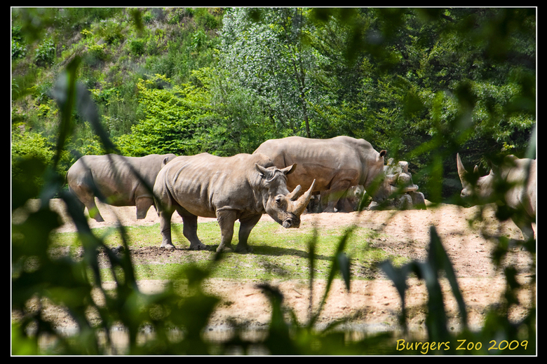 Neushoorns - Foto genomen in Burgers Zoo afgelopen donderdag. <br /> <br /> Iedereen bedankt voor de reacties op mijn vorige foto&#039;s<br /> <br