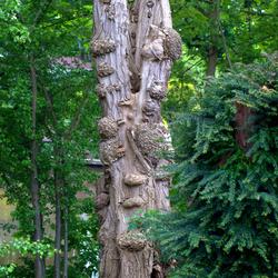 aparte boom met wratten?