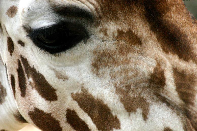 Giraffe - Ff eentje uit de oudere collectie. Ben druk met de studie op het moment, dus komt van fotograferen ff wat minder. Groetjes en bedankt weer v