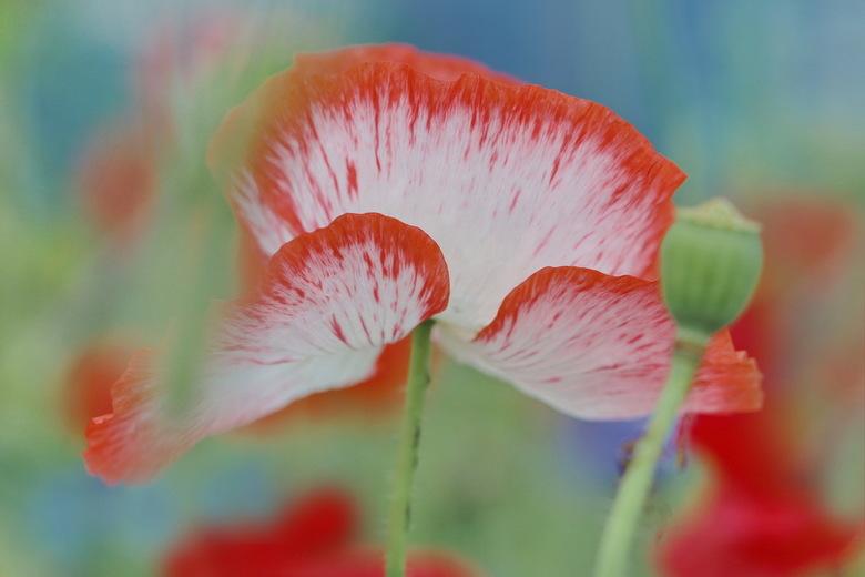 KLAPROZEN 3 - Een kleurrijk geheel geworden. Het blauw is van korenbloemen.