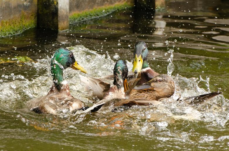 Waar er 3 vechten om... - Waar er 3 vechten om...<br /> Dit gebeurde naast ons bootje vandaag! Gelukkig mijn camera mee, maar het arme vrouwtje...of