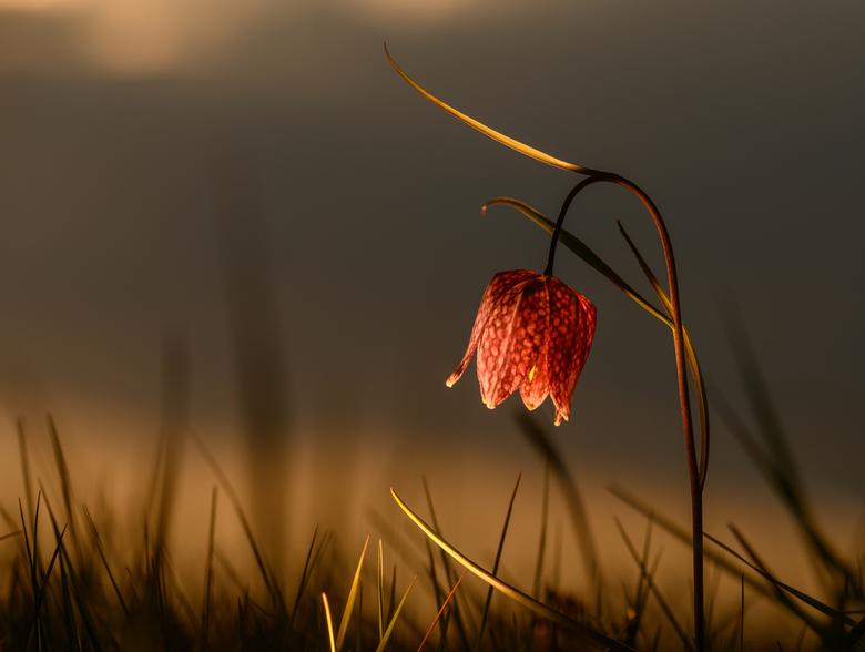Kievitsbloem in het laatste zonlicht - De kievitsbloem in het laatste avondlicht