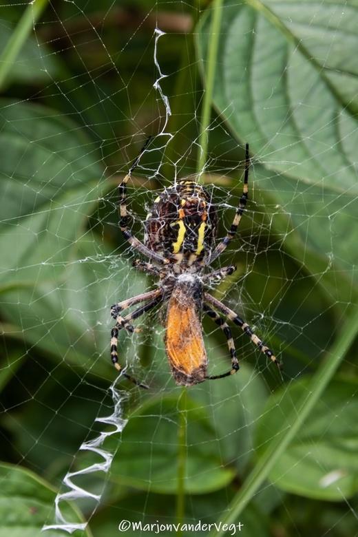 Wespspin - De wespspin (Argiope bruennichi) is een spin uit de familie Araneidae, ook wel echte spinnen genoemd. Andere benamingen zijn wespenspin of