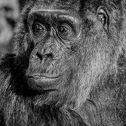 Aap in Berlin Zoo