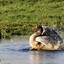 Grauwe gans (1)-4