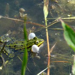 Frog ... het lijken wel kauwgomballen...