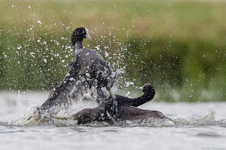 Vechtende meerkoeten  - In de broedtijd zijn meerkoeten vaak agressief naar soortgenoten of indringers als die in hun territorium komen.