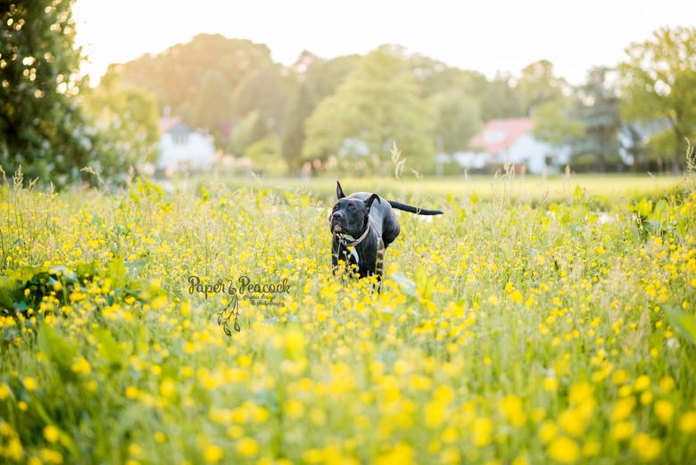 Hond Bella - Drukke maar oh zo lieve hond Bella, springend door het bloemenveld.