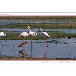 Greater Flamingo 2, Kenia