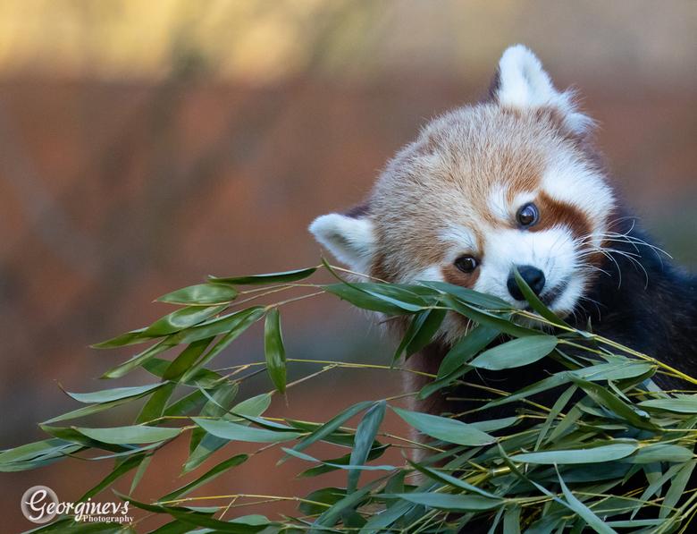 Rode Panda  -